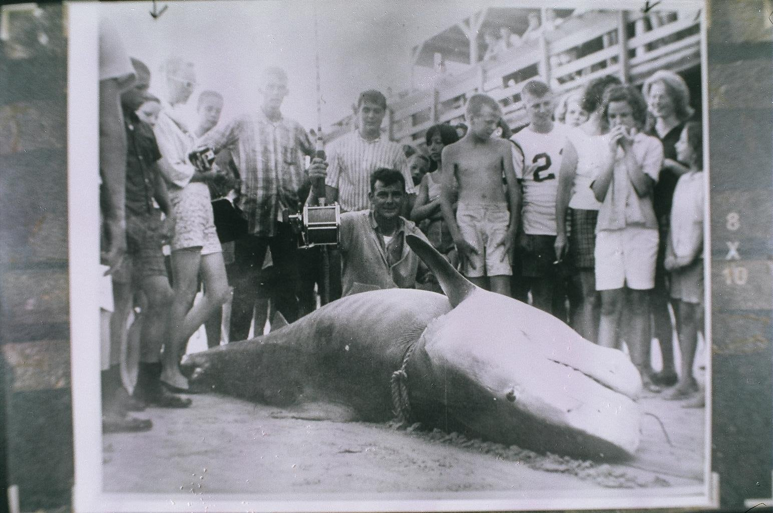 An old black and white photo of a large shark caught on a rod.